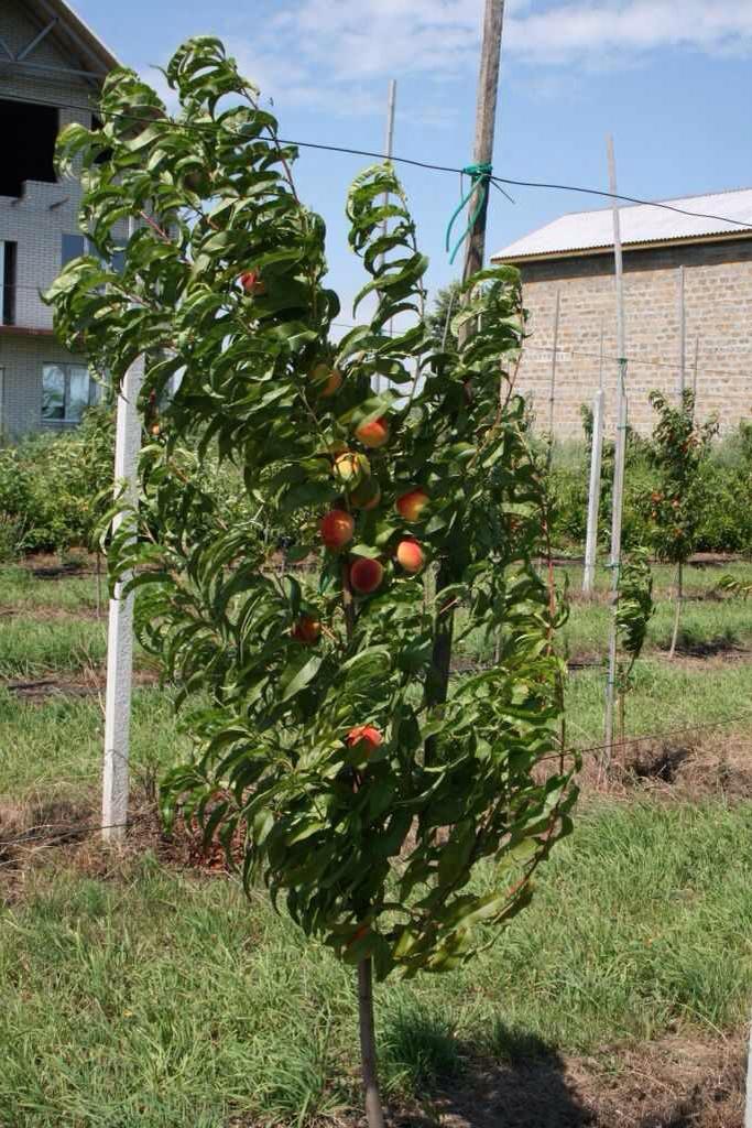 Какими полезными свойствами обладают персики?