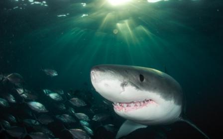 Акулий сквален – лечебные свойства и применение в медицине