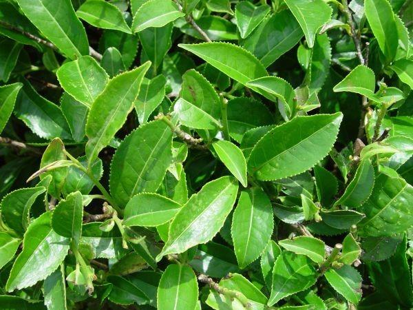 Польза чайного дерева и специфика его применения